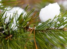 Pine-tree under snow. Close up Royalty Free Stock Images