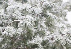 Pine tree under snow Stock Photography