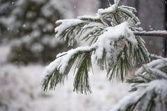 Pine tree under snow Royalty Free Stock Photos