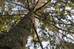 Pine tree upwards view Royalty Free Stock Images