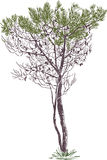 Pine tree. Vector drawing of a young fir tree Royalty Free Stock Image