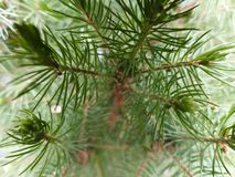 Pine tree. Very close up of a misty bright green pine Royalty Free Stock Photos