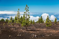 Pine tree with volcanic soil in the Teide National Park - Tenerife, Canary Islands. Pine trees with volcanic soil in the Teide National Park - Tenerife, Canary Stock Images