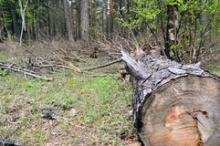 The pine tree was cut down. Left in the woods. Stock Photography