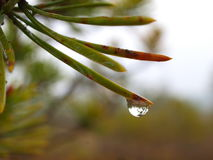 Pine tree and water drop Stock Photo