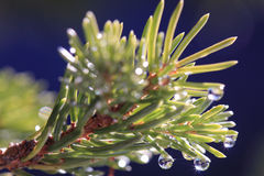 Pine tree water droplets. Drops of water on pine tree leaves sparkling Stock Image