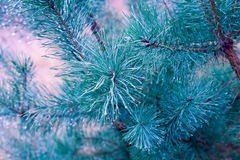Pine tree with water drops Royalty Free Stock Images