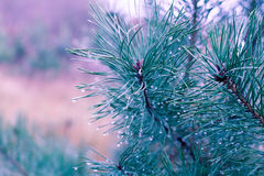 Pine tree with water drops Stock Photos