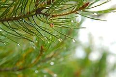 Pine Tree Wet Rainy Detail Stock Images
