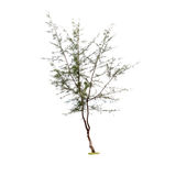 Pine tree on a white background. Royalty Free Stock Photography