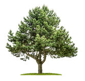 Pine tree on a white background Royalty Free Stock Photos