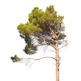 Pine tree on white Royalty Free Stock Photo