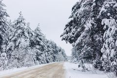 Pine tree in the white snow cover across the winter forest royalty free stock photo