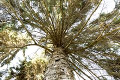 Pine tree with wide green branches. View from bottom up Royalty Free Stock Photography