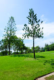 Pine tree in wide green lawns Stock Image