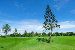 Pine tree in wide green lawns Royalty Free Stock Photo