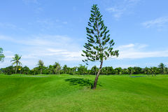Pine tree in wide green lawns Stock Photo