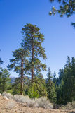 Pine Tree in Wilderness Royalty Free Stock Image
