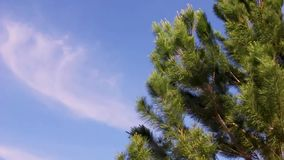 Pine tree in a windy day. Pine tree blowing in the windy day with beautiful cloudscape blue sky background stock video