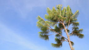 Pine tree in a windy day. And blue sky stock video