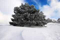 Pine tree in winter Stock Photography
