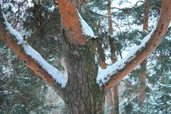 Pine tree in the winter. The mature pine tree in the winter forest. European climatic zone Royalty Free Stock Images