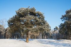 Pine-tree in winter. Single pine-tree in a park covered with snow Royalty Free Stock Photo