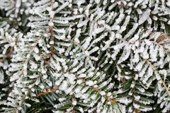 Pine tree in winter Royalty Free Stock Image