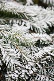 Pine tree in winter Royalty Free Stock Photo