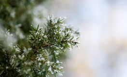 Pine tree in winter Royalty Free Stock Photography