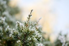 Pine tree in winter Stock Images