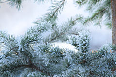 Pine tree in winter closeup Royalty Free Stock Images