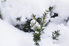Pine tree in winter cover Snow. In europe Royalty Free Stock Photography