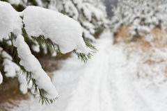 Pine tree in winter. Pine tree covered snow in the forest Royalty Free Stock Images