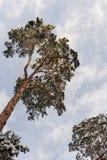 Pine tree in winter Stock Photos