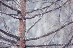 Pine tree in winter forest Stock Photo