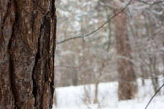 Pine tree in winter forest Stock Images