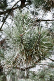 Pine tree in winter royalty free stock photos