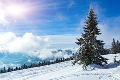 Pine tree in winter mountains Stock Photography