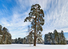 Pine-tree in winter park Stock Photography