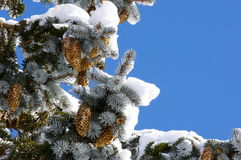 Pine Tree in the Winter Stock Image