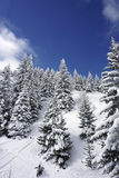 Pine tree. Winter scene, pines trees, snow, blue sky Royalty Free Stock Image