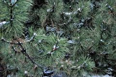 Pine Tree in the Winter. Winter snow day in Michigan.  Beautiful pine trees Stock Photography
