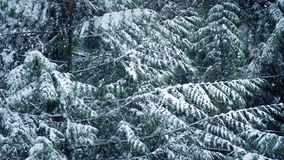 Pine Tree In Winter With Snow Falling. Pine tree with snow on branches in snowfall stock video