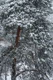 Pine tree in winter. Stock Photography