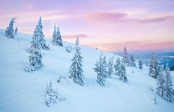 Pine tree in winter at sunset in the mountains. Purple sky Royalty Free Stock Photography