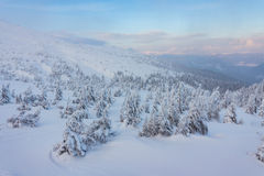 Pine tree in winter at sunset in the mountains. Royalty Free Stock Images