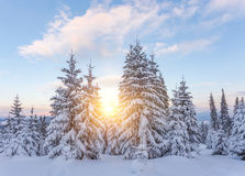 Pine tree in winter at sunset in the mountains. Stock Photography