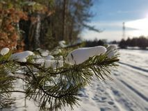 Pine tree during winter. Winter time, pine tree covevered with snow Royalty Free Stock Photography