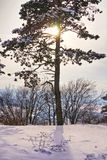 Pine tree during winter time. With the shining sun from behind Royalty Free Stock Images